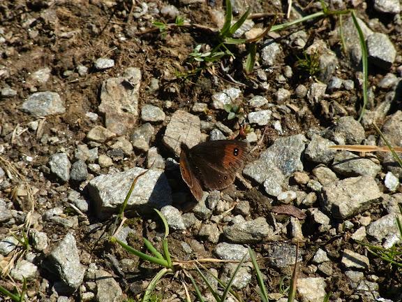 Erebia melancholica Herrich-Schaffer, [1846], endémique. Cheget (Terskol), 2750 m (Kabardino-Balkarie), 8 août 2014. Photo : J. Michel