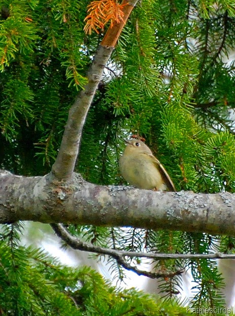 16. ruby crowned kinglet-kab