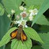 Tawny-edged Skipper (Butterfly)