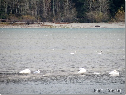 Tundra Swans on the rough river