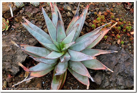 140208_RBG_Aloe-capitata-quartziticola_001