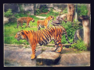Tigre asiático en el Zoo de Songkhla sometido a maltrato animal.