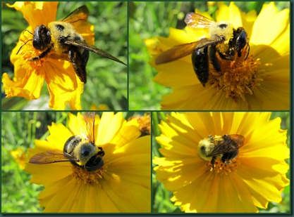 bbee on coreopsis collage