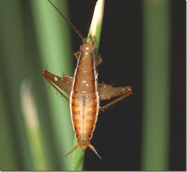 Saltoblattella montistabularis b