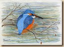 Kingfisher067