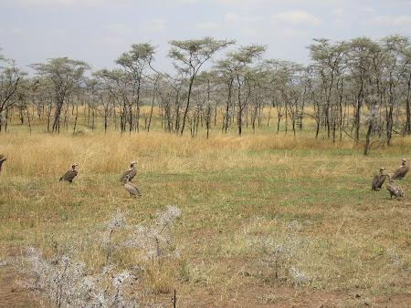 Safari Kenya: vulturi in Serengeti