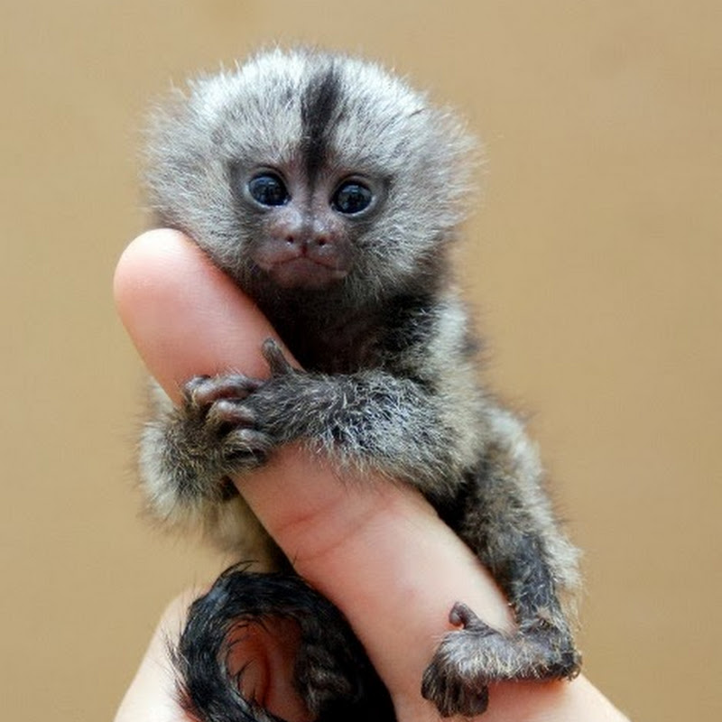 Pygmy Marmoset - The Smallest Monkey