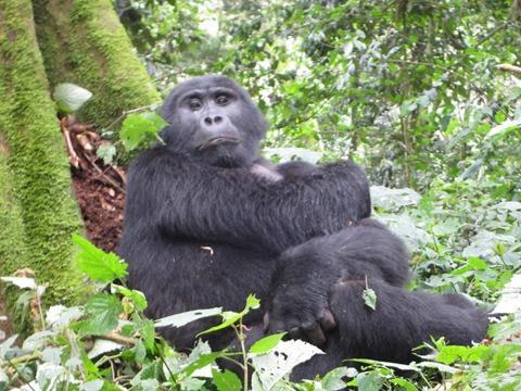rwanda uganda gorilla bwindi tracking trek tour