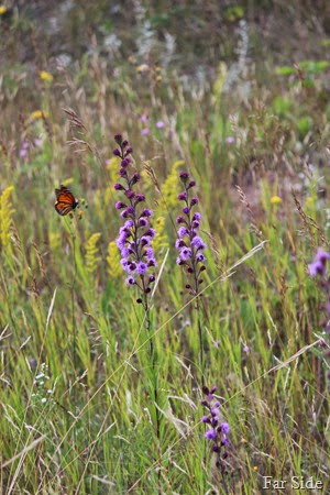 Butterfly and Rough Blazing Star