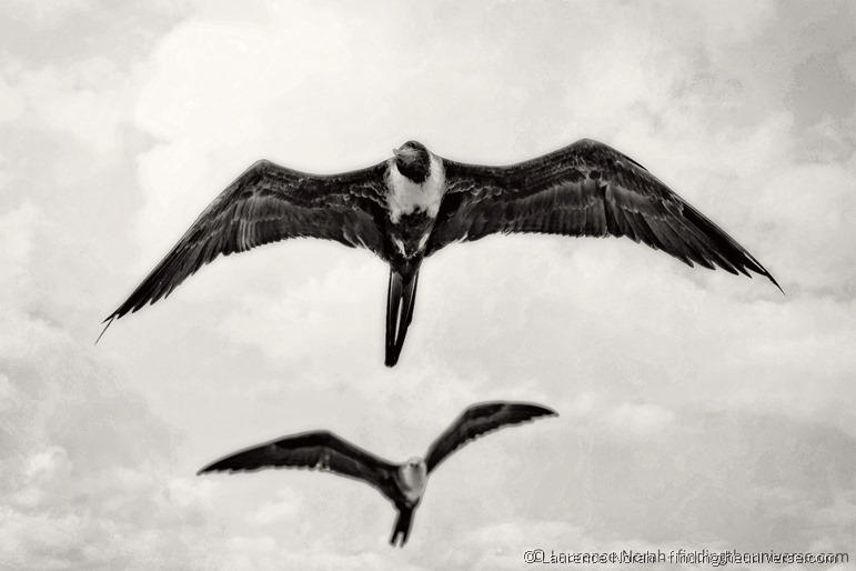 Frigate birds looking at me 2 scaled