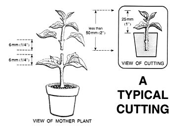 Asexual propagation cutting