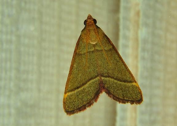 Crambidae : Pyraustinae : Osiriaca ptousalis WALKER, 1859. Umina Beach (NSW, Australie), 22 octobre 2011. Photo : Barbara Kedzierski