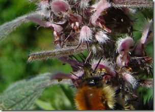 carder bee on motherwort