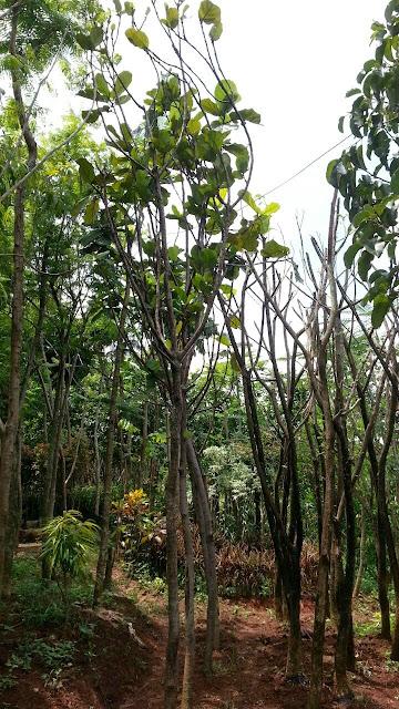 harga jual pohon pelindung peneduh biola cantik murah, tukang taman terpercaya, tukang taman profesional, pohon biola cantik untuk peneduh di area parkir kantor, rumah, hotel, mall, dan prasarana umum lainnya