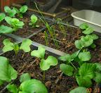 5 week peppers, 7 week pansies, 2 week onions and fractal broccoli