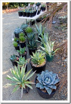 121013_RBG_fall_sale_agaves