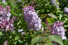 lilacs_resized_DSC_1564