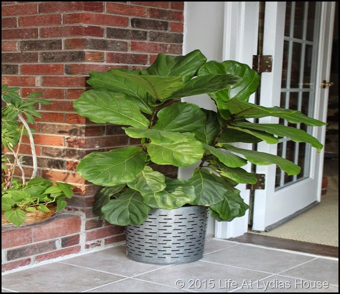 fiddle leaf fig tree winter a