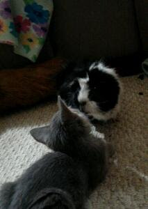Kitten and a black and white guinea pig