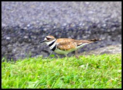 01e - birds - killdeer