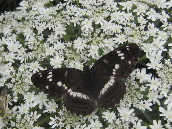 Ladoga (Limenitis) camilla japonica MÉNÉTRIÉS, 1857. Près d'Andreevka (Primorskij Kraj, Russie), 6 juillet 2011. Photo : G. Charet