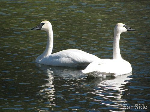 Trumpeter SWans March 10