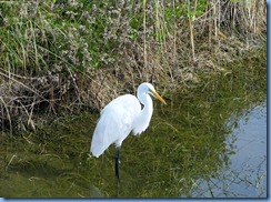 6550 Texas, South Padre Island - Birding and Nature Center - Great Egret