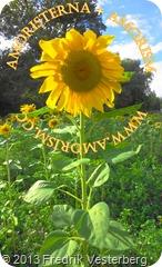 DSC08662 (1) Blomma. Med amorism