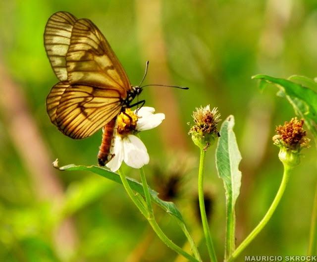 Peut-être : Actinote pellenea calymma Jordan, 1913, femelle. Environs de Curitiba, Paraná. 21 avril 2011. Photo : Mauricio Skrock