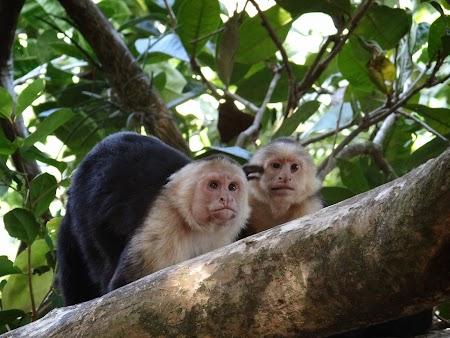 02. Maimute in Manuel Antonio, Costa Rica.JPG