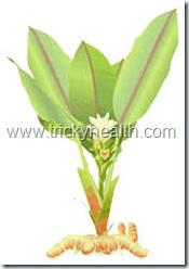 Natural TURMERIC herb