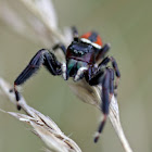 Red-backed Jumping Spider