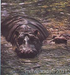 especie de hipopotamos