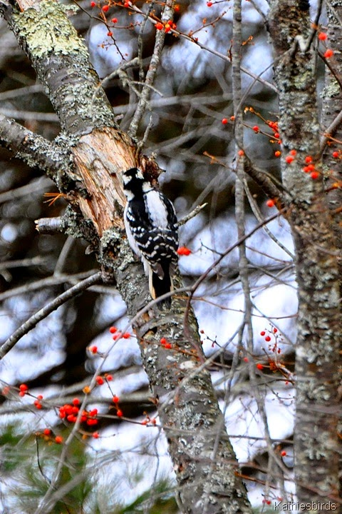 3. 12-21-14 hairy woodpecker-kab
