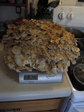 hen of the woods on scale
