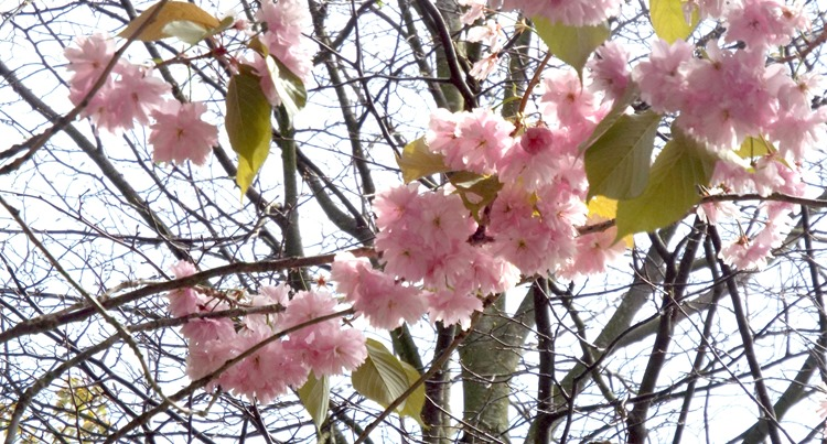 pink blossom in a tree