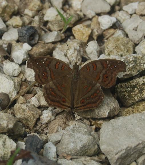 Junonia goudoti BOISDUVAL, 1833, endémique. Réserve d'Ankarafantsika (50 km à l'est de Majunga), 210 m d'altitude, 8 février 2011. Photo : T. Laugier