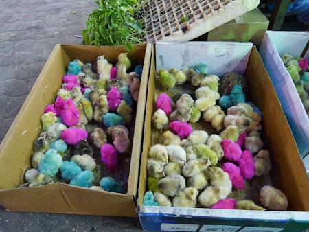 Shopping Amman: Pui de gaina colorati