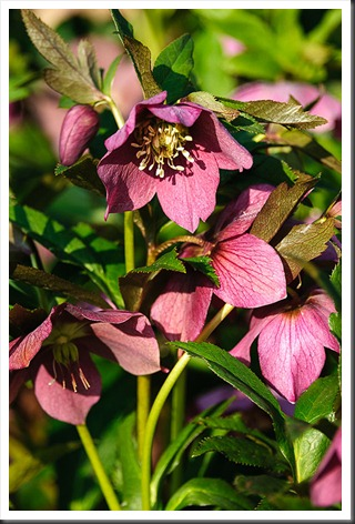Hellebores at Brookside Gardens