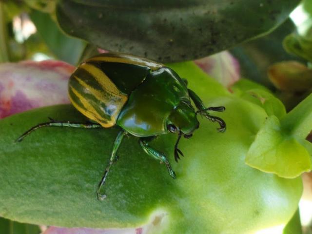 Coléoptère : Rutelidae : Macraspis sp. Colider (Mato Grosso, Brésil), janvier 2010. Photo : Cidinha Rissi