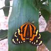 Chetone Moth