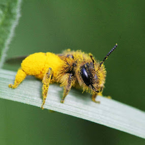 Apeluche by Stefano De Maio Fotografia - Animals Insects & Spiders ( macro, nature, bee, insect )
