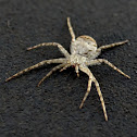 Grey Running Crab Spider