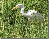 105 Great Egret ( Moto Baglo ).