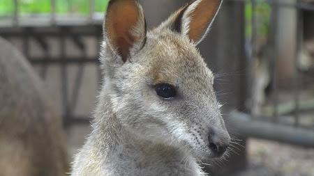 18. cangur Australia.jpg