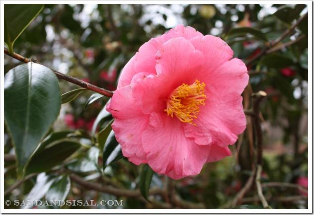 Fashionata Camellia (1024x683)