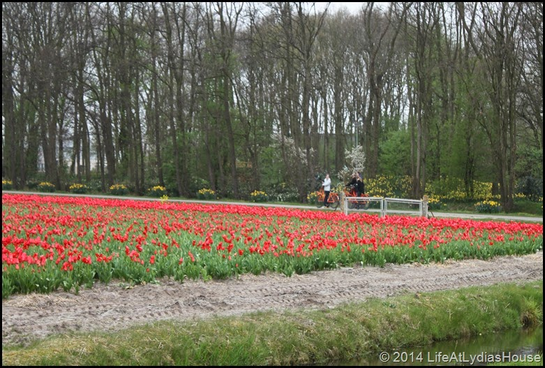 holland flower fields 1