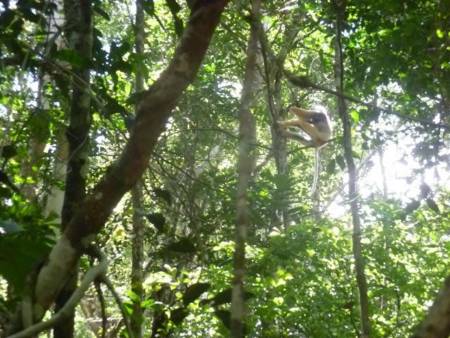 Lémurien : Sifaka à diadème (Propithecus diademaBENNETT, 1832). Parc Andasibe-Mantadia (Périnet, Madagascar), 26 décembre 2013. Photo : J. Marquet