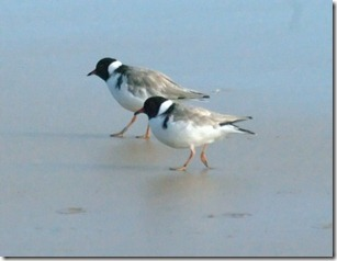 Hooded Plovers (Thinornis rubricollis)