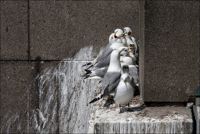 Tyne Bridge Kittiwakes